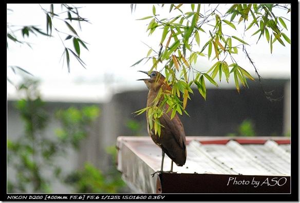 黑冠麻鷺(太昌)0077