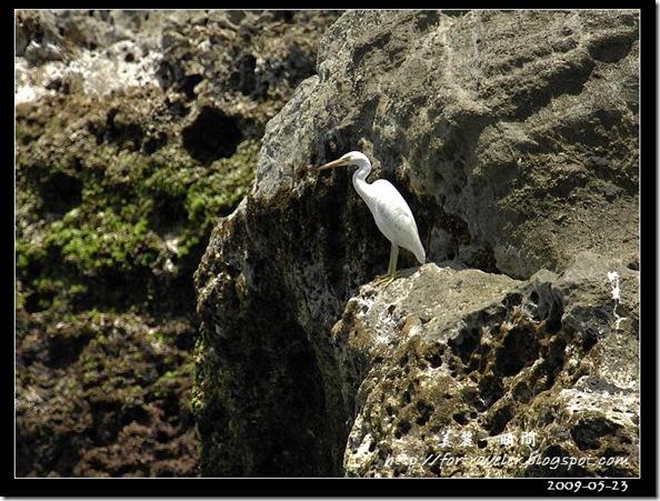 岩鷺(2009-05-23石梯坪)1498