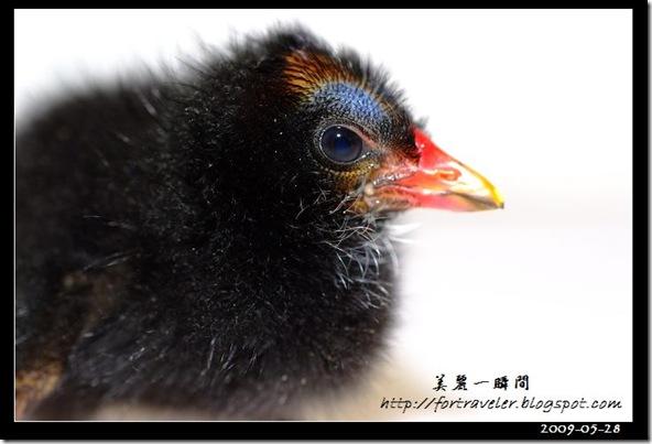 紅冠水雞0273