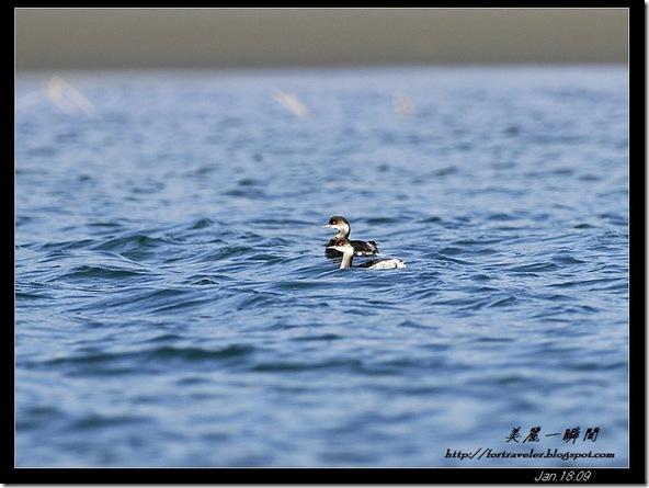 黑頸甓鷈(2009-01-18花蓮溪出海口)6143