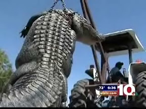 900-pound-gator-video-13-foot-4-gator-caught-in-south-carolina-photo