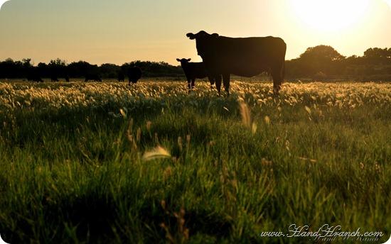 CattleSunset2