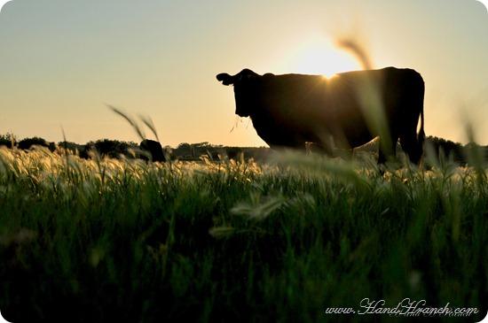 CattleSunset