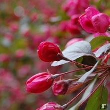Zierapfelblüte © H. Brune