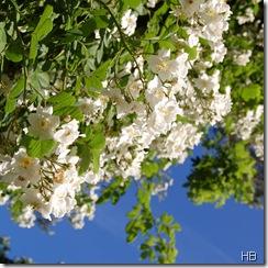 Ramblerrose in der Blüte © H. Brune