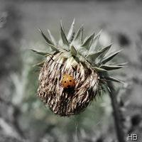 Trockene Distelblüte im Marienkäfer © H. Brune
