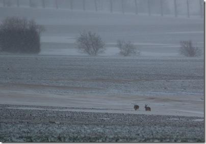Hasen in Heiligenhafen, H. Brune