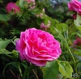 Rose Gertrude Jekyll © H. Brune