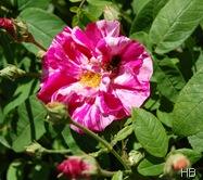 Rosa Mundi | Rosa gallica versicolor © H. Brune