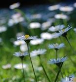 Gänseblümchen © H. Brune