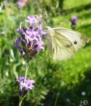 Lavendel mit Kolhweissling © H. Brune