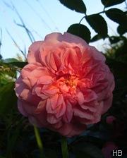 Ramblerrose Paul Noél © H. Brune
