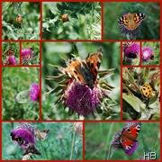 Schmetterlinge an Disteln © H. Brune
