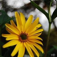 Staudensonnenblume © H. Brune