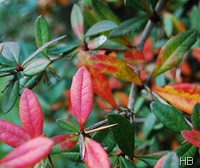 Laub der Berberitze im Herbst © H. Brune