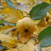 Reife Quitte im Herbstlaub © H. Brune