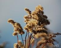 Trockener Fruchtstand der Goldrute © H. Brune