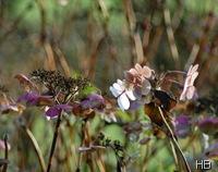 Hortensien im Herbst © H. Brune