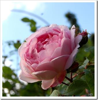 Rose Constanze Spry H. Brune