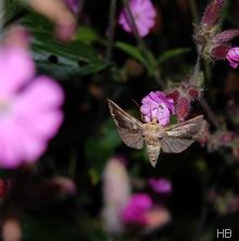 Schmetterling an roter Lichtnelke © H. Brune