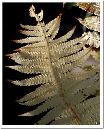 Farnblatt im Herbst © H. Brune