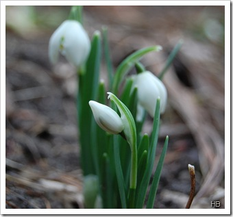 Schneeglöckchen © H. Brune