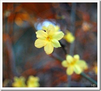 Winterjasmin ©H. Brune