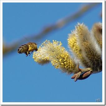 Biene an Weidekätzchen © H. Brune