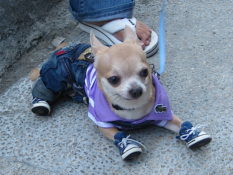 Chihuahua in denim jeans and sneakers, and Lacoste shirt