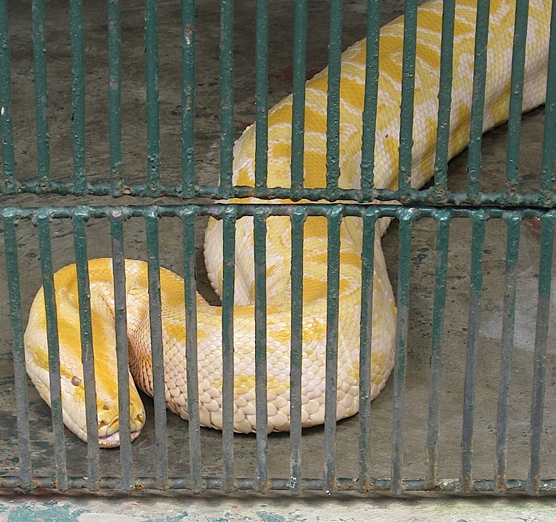 albino Burmese python at the Malabon Zoo