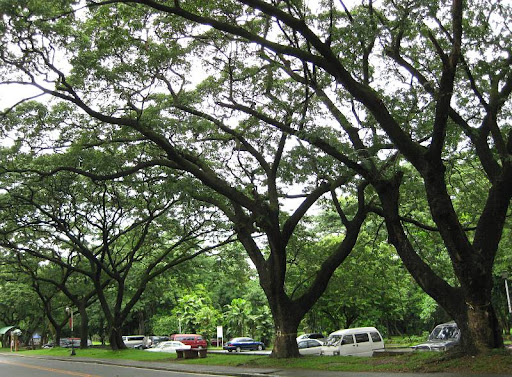 acacia trees in U.P. Diliman