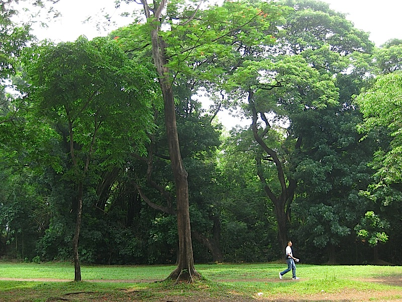 stand of woods in Ateneo de Manila
