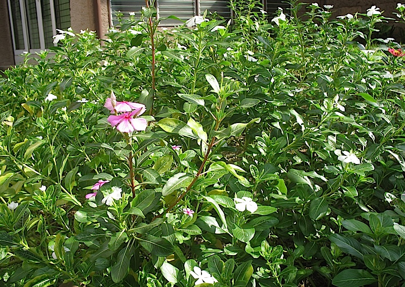 Catharanthus flowers, also known as Madagascar Periwinkle or Araw-araw