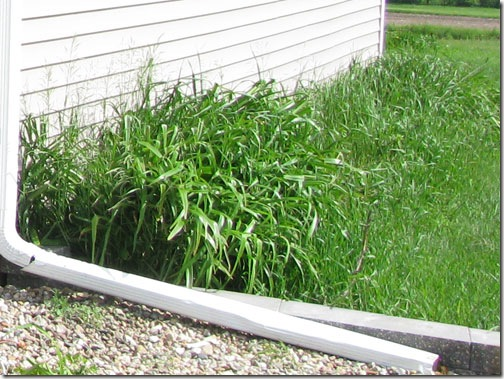 lilies_side-of-garage_2009