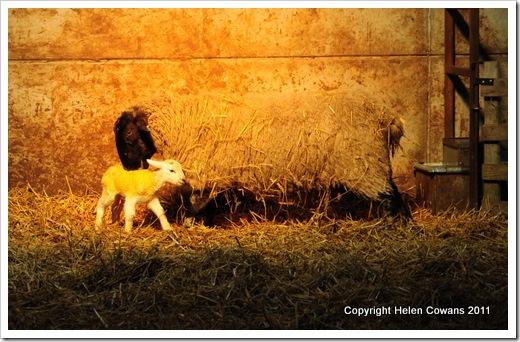 Sheep 97