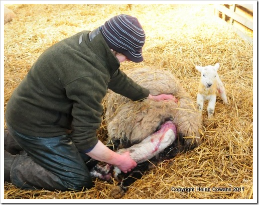 Sheep 317