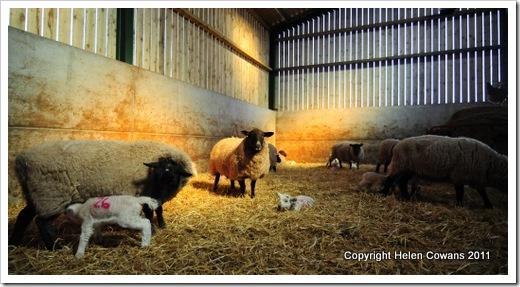 Sheep 354