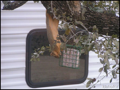 Squirrel-on-Bird-Feed