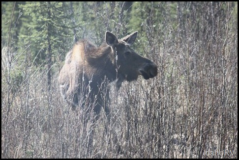 Moose-on-Side-of-Road
