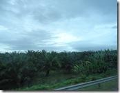 椰子の群生