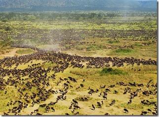 Serengeti - göç 3