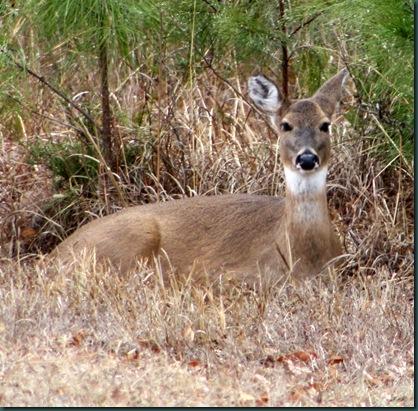 Deer @ McAlester 001