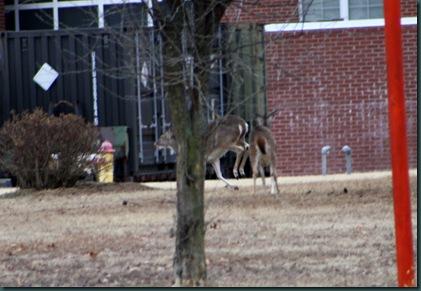 Deer @ McAlester 016