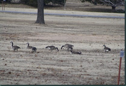 Geese and turkey 007