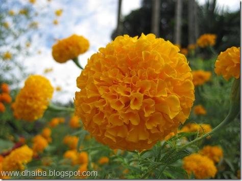 Flower--Udayapur'67.