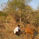 De koe van Collid