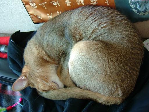 파이어폭스 고양이 바토 [고양이,고양이키우기,고양이집사,반려묘,cat]