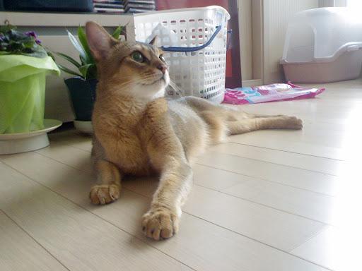 늠름한 고양이 바토 [고양이,고양이키우기,고양이집사,반려묘,cat]
