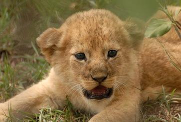 tiny cub