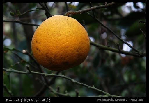 浙江-常山-胡柚